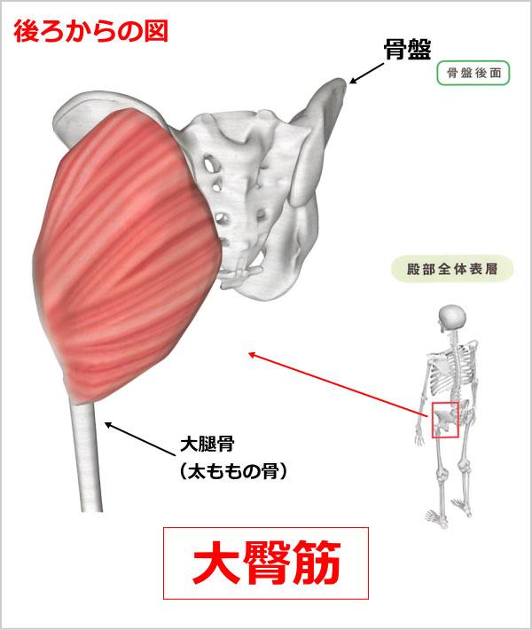 股関節 大臀筋