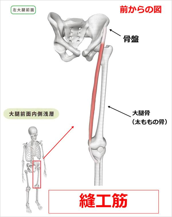 股関節 縫工筋