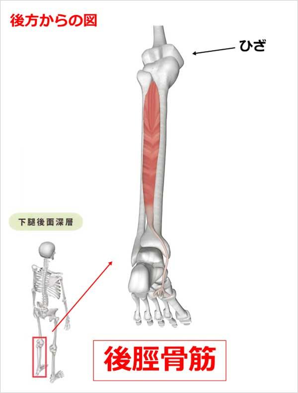 足首 後脛骨筋