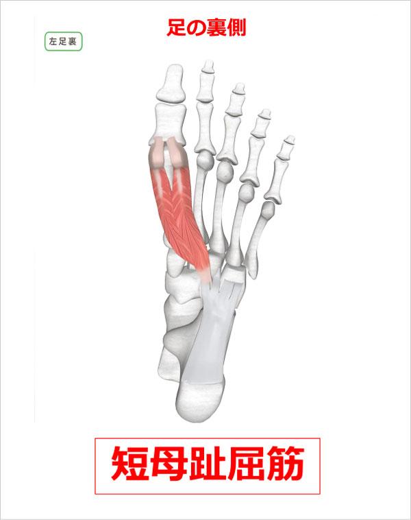 足首 短母趾屈筋