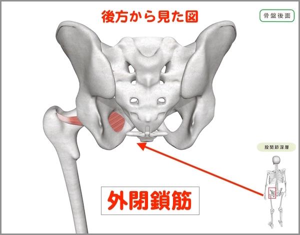 股関節 外閉鎖筋