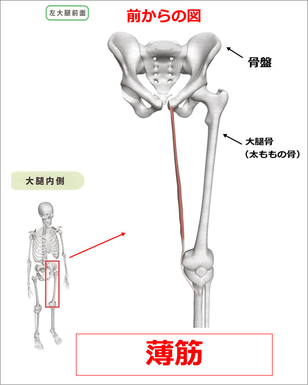 股関節 薄筋