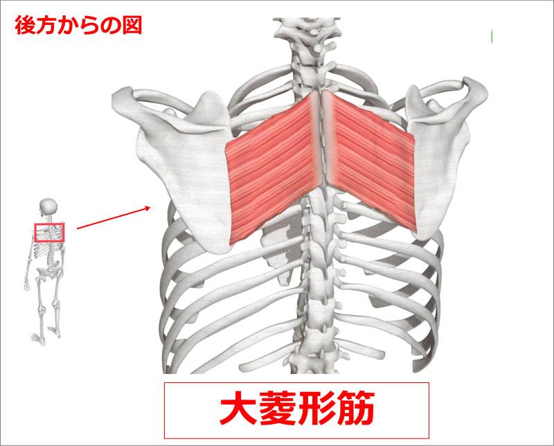 肩 大菱形筋
