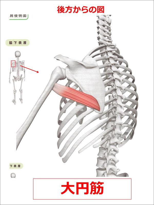 肩 大円筋